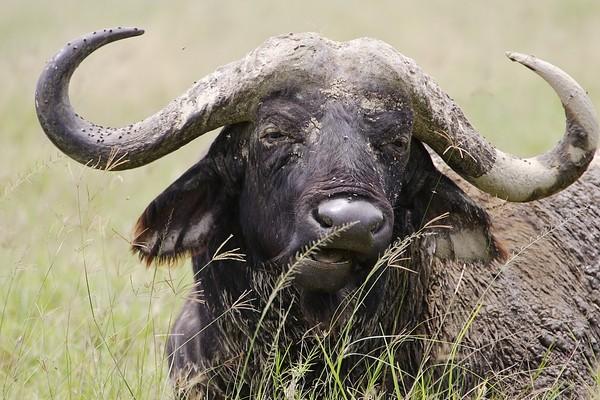 6 Days Amboseli, Nakuru and Masai Mara
