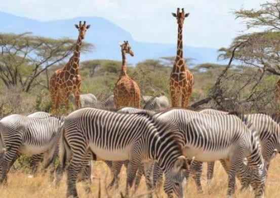 Kenya safari 8 Days: Amboseli, Lake Nakuru, Lake Bogoria, Masai Mara and Lake Naivasha Safari
